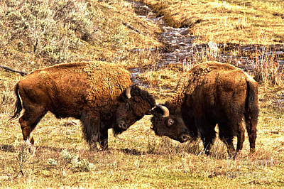 Photograph - Battle Of The Lamar Valley Bison by Adam Jewell