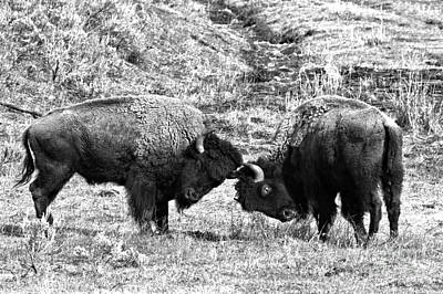 Photograph - Battle Of The Lamar Valley Bison Black And White by Adam Jewell