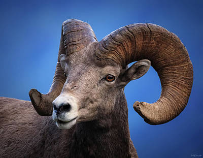 Photograph - Battle Worn Bighorn Sheep by Rick Furmanek