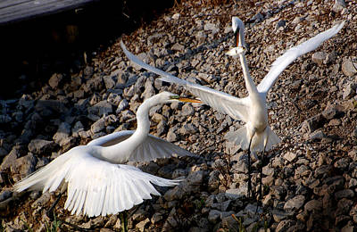 Photograph - Battling Egrets by Kathleen Stephens