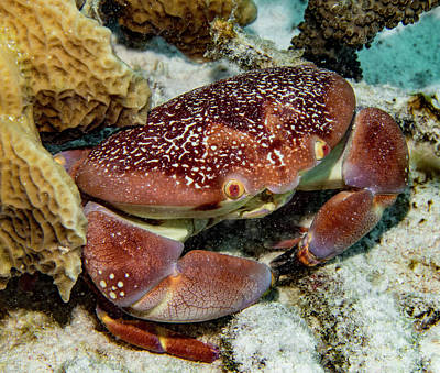 Photograph - Batwing Coral Crab by Jean Noren