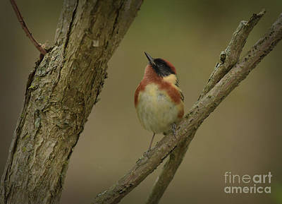 Photograph - Bay-breasted Warbler by Charles Owens
