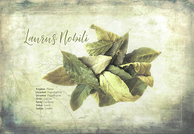 Herb Mixed Media - Bay Leaf Classification by Terry Davis
