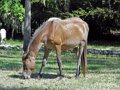 Photograph - Bay Mare At Cumberland Island by D Hackett