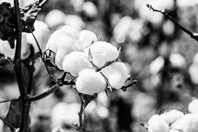 Photograph - Bayou State Cotton - Bw by Scott Pellegrin