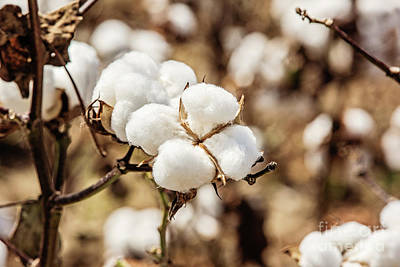 Photograph - Bayou State Cotton by Scott Pellegrin