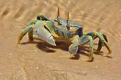 Photograph - Bazaruto Crab by Jeremy Hayden