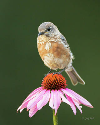 Photograph - Little Bb And The Coneflower by Gerry Sibell