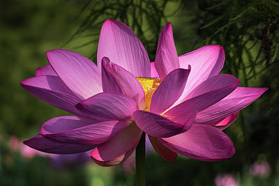 Photograph - Be Like The Lotus by Cindy Lark Hartman