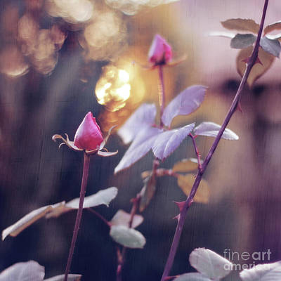Flower Express Photograph - Roses For Mother's Day by Tanjica Perovic