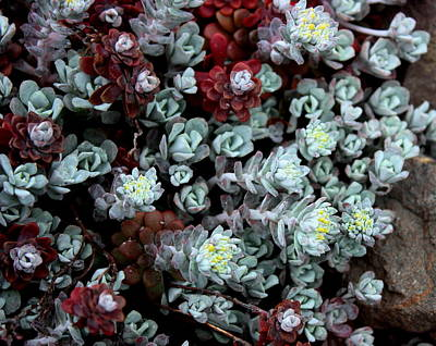 Photograph - Beach Beauties Succulents by Larry Bacon