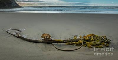 Beach Bull Kelp Laying Solo Art Print