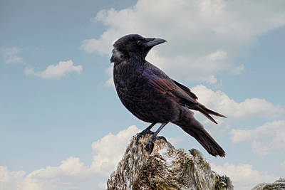 Photograph - Beach Bum Crow by Peggy Collins