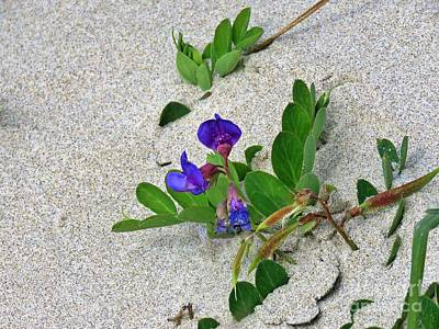 Photograph - Beach Pea Vine by Michele Penner