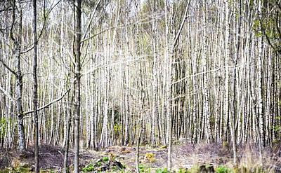 Photograph - Birch Wood by Steven Poulton