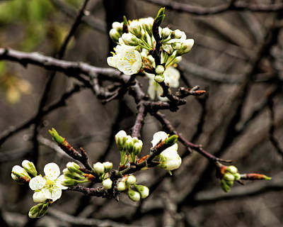 Photograph - Beach Plum Blossoms by Kristia Adams
