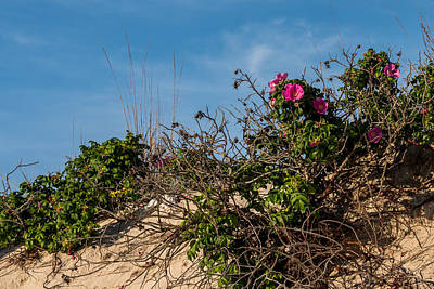 Beach Roses On Dune Jersey Shore Art Print by Terry DeLuco
