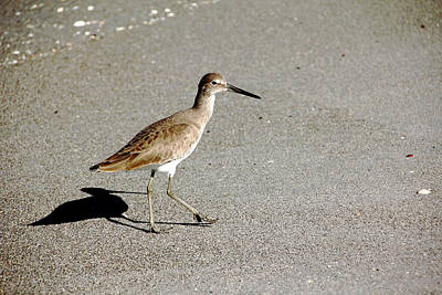 Photograph - Beach Willet by Debbie Oppermann