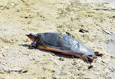 Photograph - Beached Softshell by William Tasker