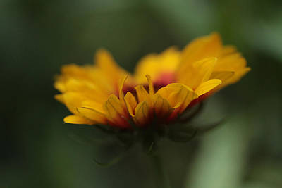Gaillardia Photograph - Beacon by Connie Handscomb