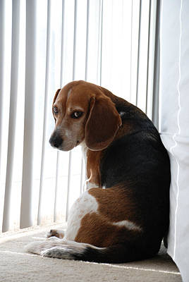 Art Print featuring the photograph Beagle Attitude by Jennifer Ancker