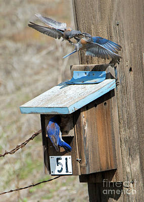 Bluebird Photograph - Beak To Beak by Mike Dawson