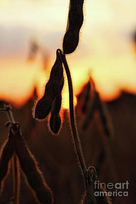 Photograph - Bean Harvest by Erick Schmidt