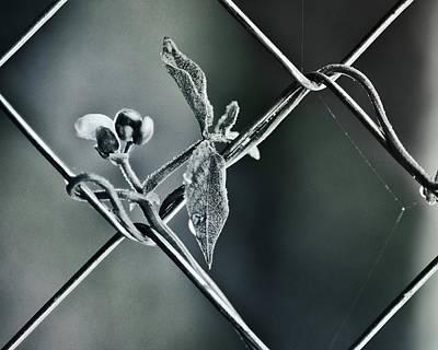 Photograph - Beanstalk Trendils by Susan Capuano