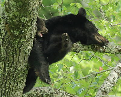 Photograph - Bear And Cub In Tree by Coby Cooper