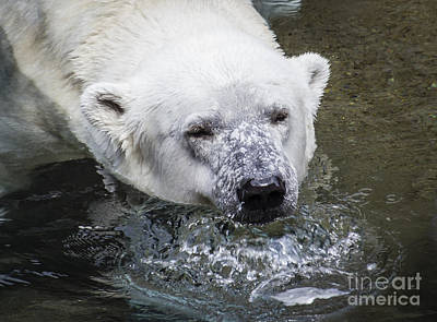 Photograph - Bear Bubbles by Joann Long