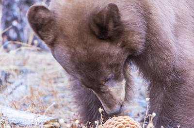 Romantic French Magazine Covers - Bear Cub and Pine Cone by Marc Crumpler