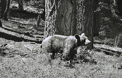 Photograph - Bear Cub At Trail Of 100 Trees by Debby Pueschel