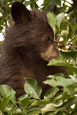 Photograph - Bear Cub In Apple Tree3 by Loni Collins