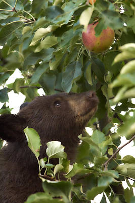 Photograph - Bear Cub In Apple Tree4 by Loni Collins