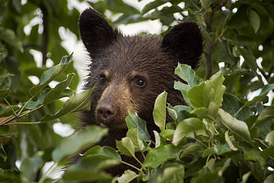 Photograph - Bear Cub In Apple Tree6 by Loni Collins