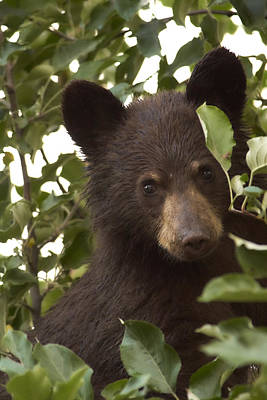 Photograph - Bear Cub In Apple Tree7 by Loni Collins