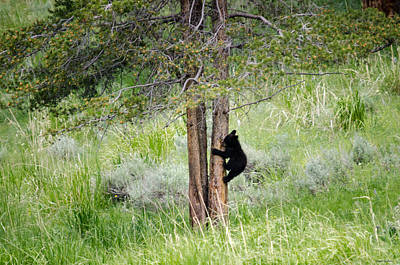 Photograph - Bear Cub In Tree by Crystal Wightman