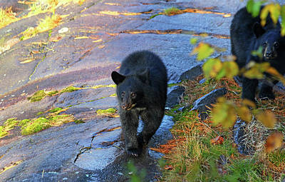 Photograph - Bear Cubs by Debbie Oppermann