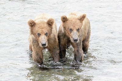 Photograph - Bear Cubs by Phil Stone