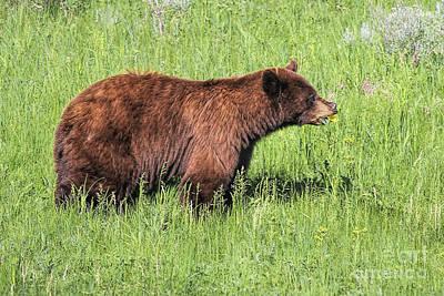 Bear Eating Daisies Art Print