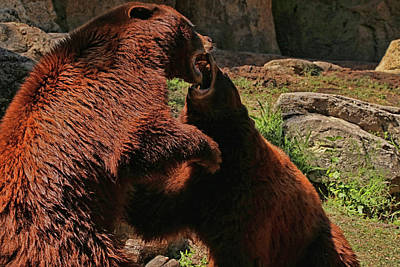 Photograph - Bear Fight by Judy Vincent