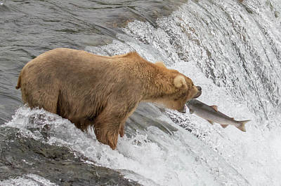 Photograph - Bear Fishing At Brooks Falls by Phil Stone