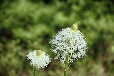 Photograph - Bear Grass Blossom by Marie Leslie