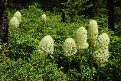 Photograph - Bear Grass In The Woods by Marie Leslie