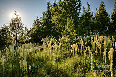 Photograph - Bear Grass On The St Joe by Idaho Scenic Images Linda Lantzy