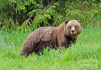 Photograph - Bear In Alaska by Tom Wurl