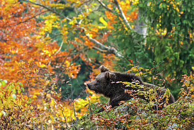 Photograph - Bear In Autumn Forest by Arterra Picture Library