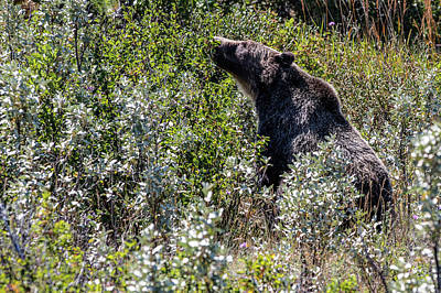 Photograph - Bear In Glacier National Park  by John McGraw