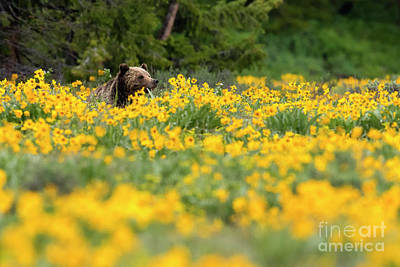 Photograph - Bear In The Balsomroot by Aaron Whittemore