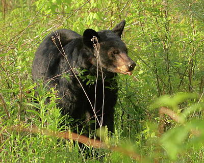 Photograph - Bear In The Grass by Coby Cooper